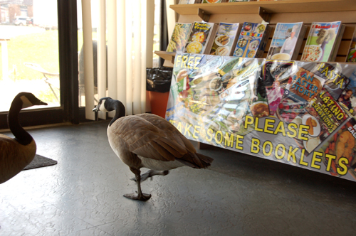 Mr_Goudas_Books_Canada_Geese_Book_Reading